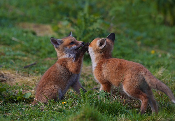 Red Fox Cubs For Sale Fox cubsRed Fox Cubs